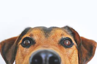 cão a espreitar
