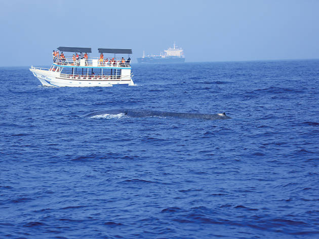 Watch the whales in action at Mirissa