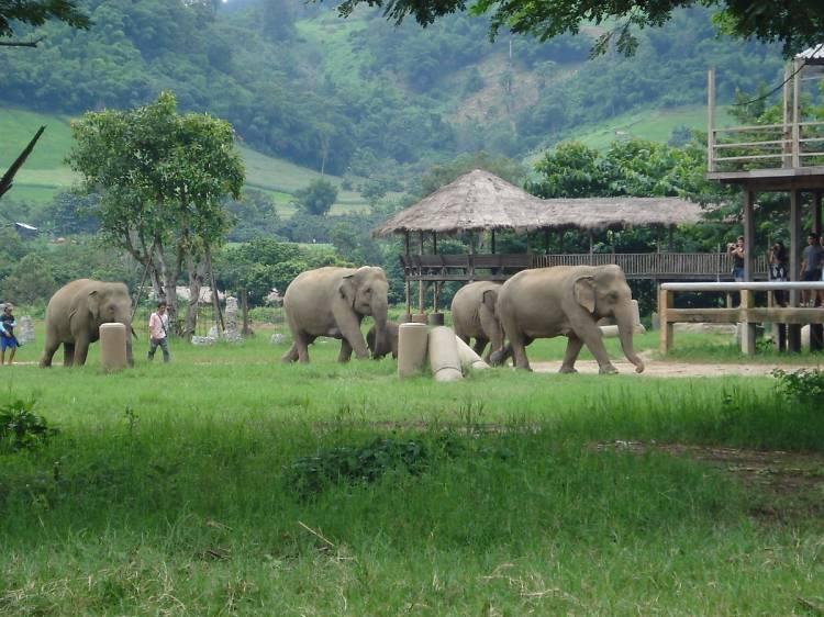 Walk with elephants at Elephant Nature Park