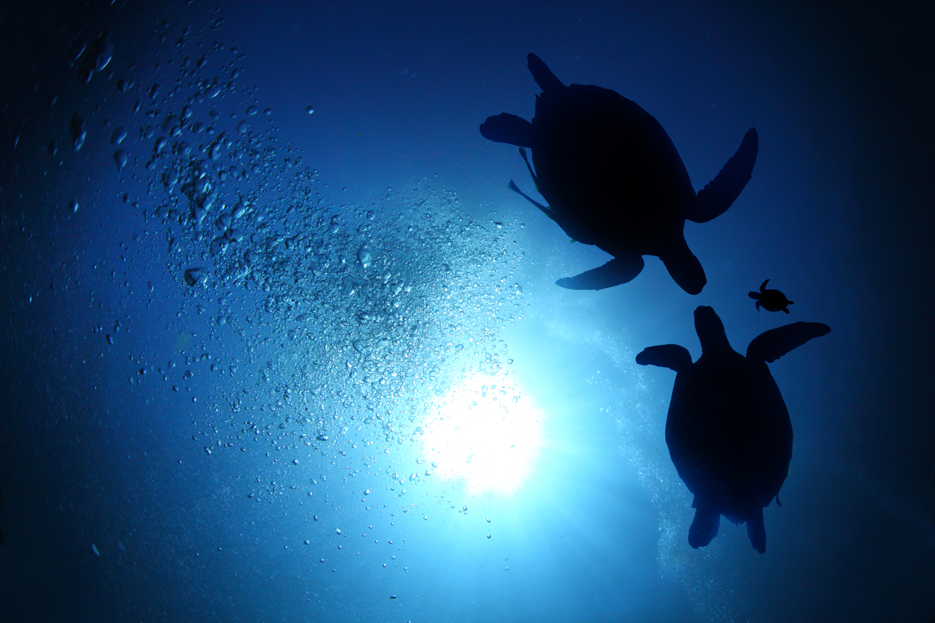 Two adult turtles swim with a baby turtle.