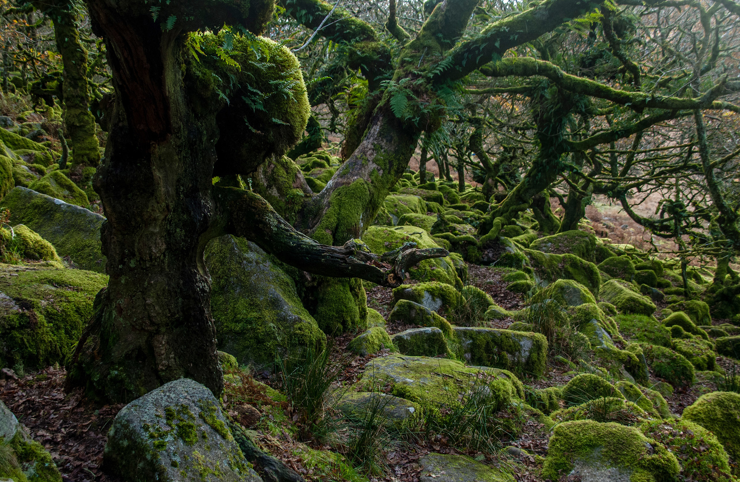 Wistman's Wood, Devon