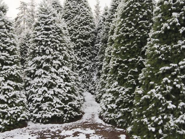 Christmas tree farms for cut-your-own trees