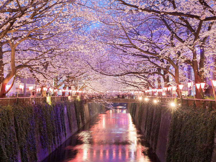 Marvel at the cherry blossoms over Meguro River