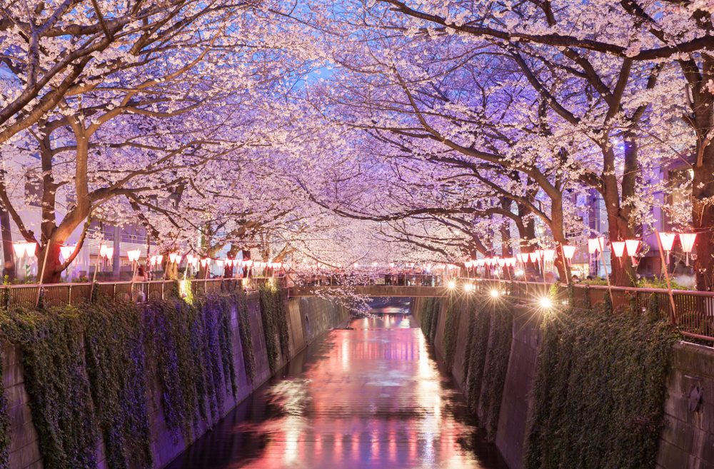 Enjoy Nakameguro Cherry Blossom Illuminations