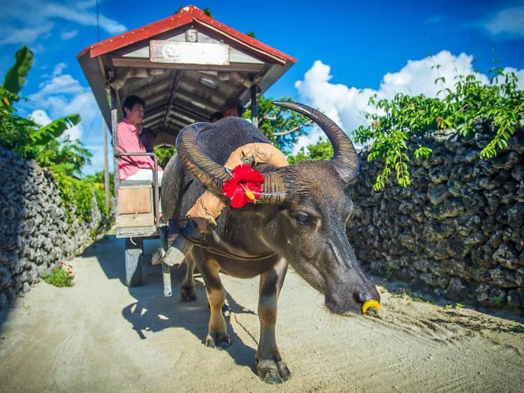 Wobble along on a water buffalo cart ride