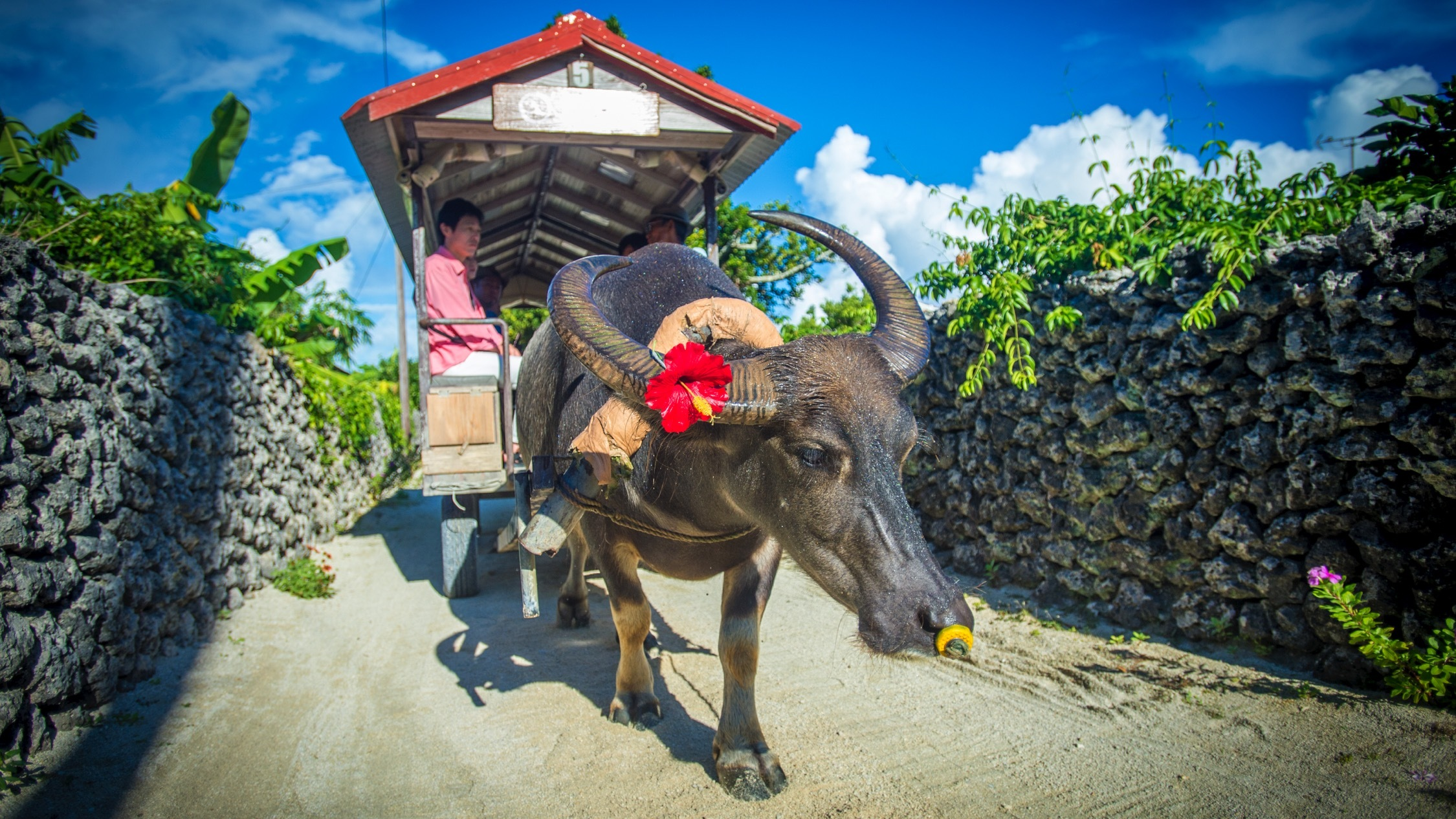 Water Buffalo Cart Rides in Taketomi island