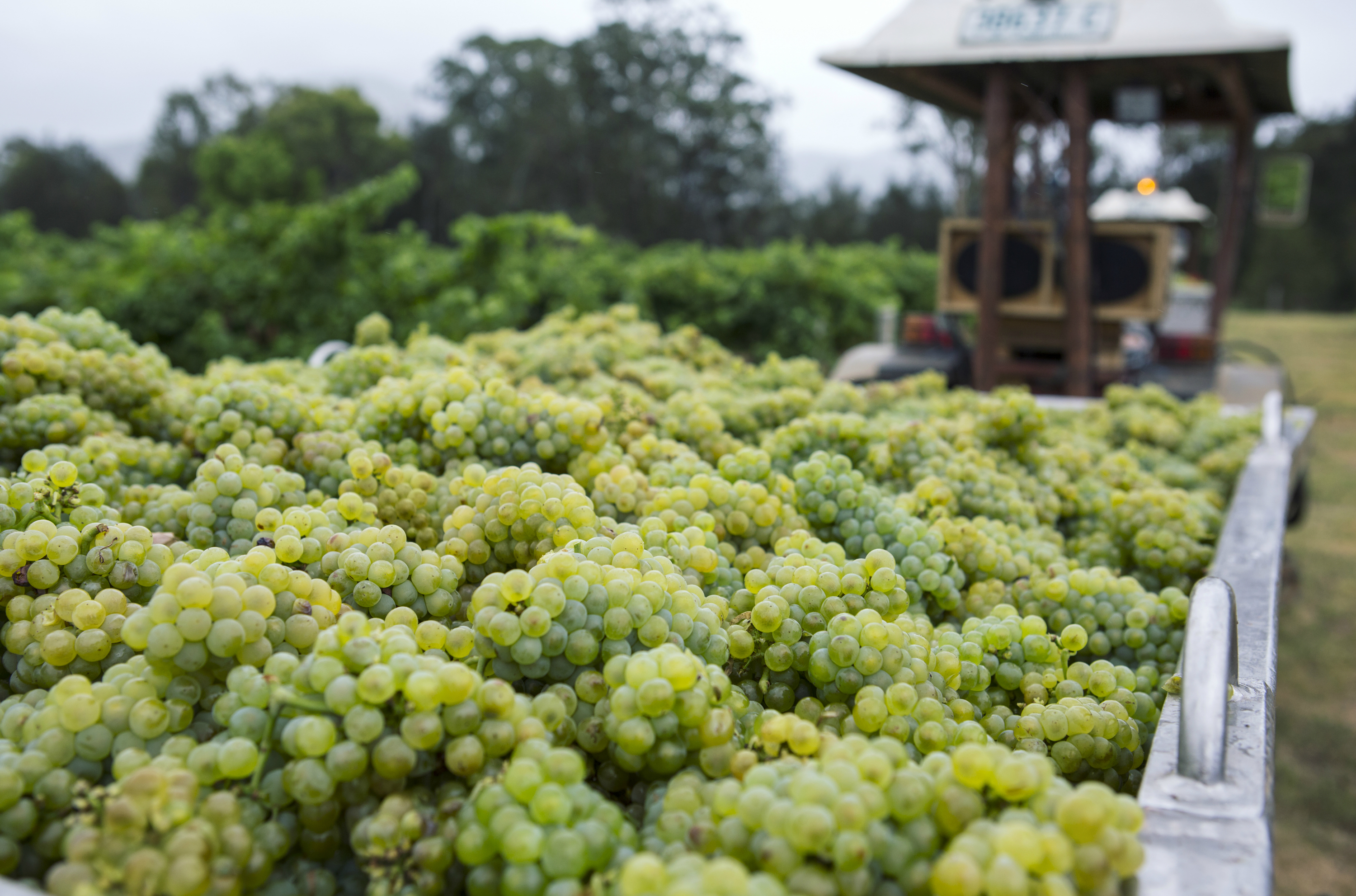 Grapes being harvested.