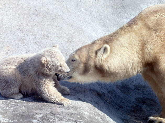 Pipaluk and Sally the polar bears at London Zoo, 1968