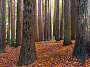 Beech Forest Californian Redwoods Otways
