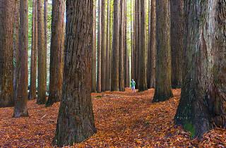 Beech Forest Californian Redwoods Otways