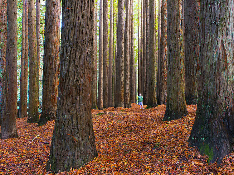 See Victoria's two Californian redwoods plantations