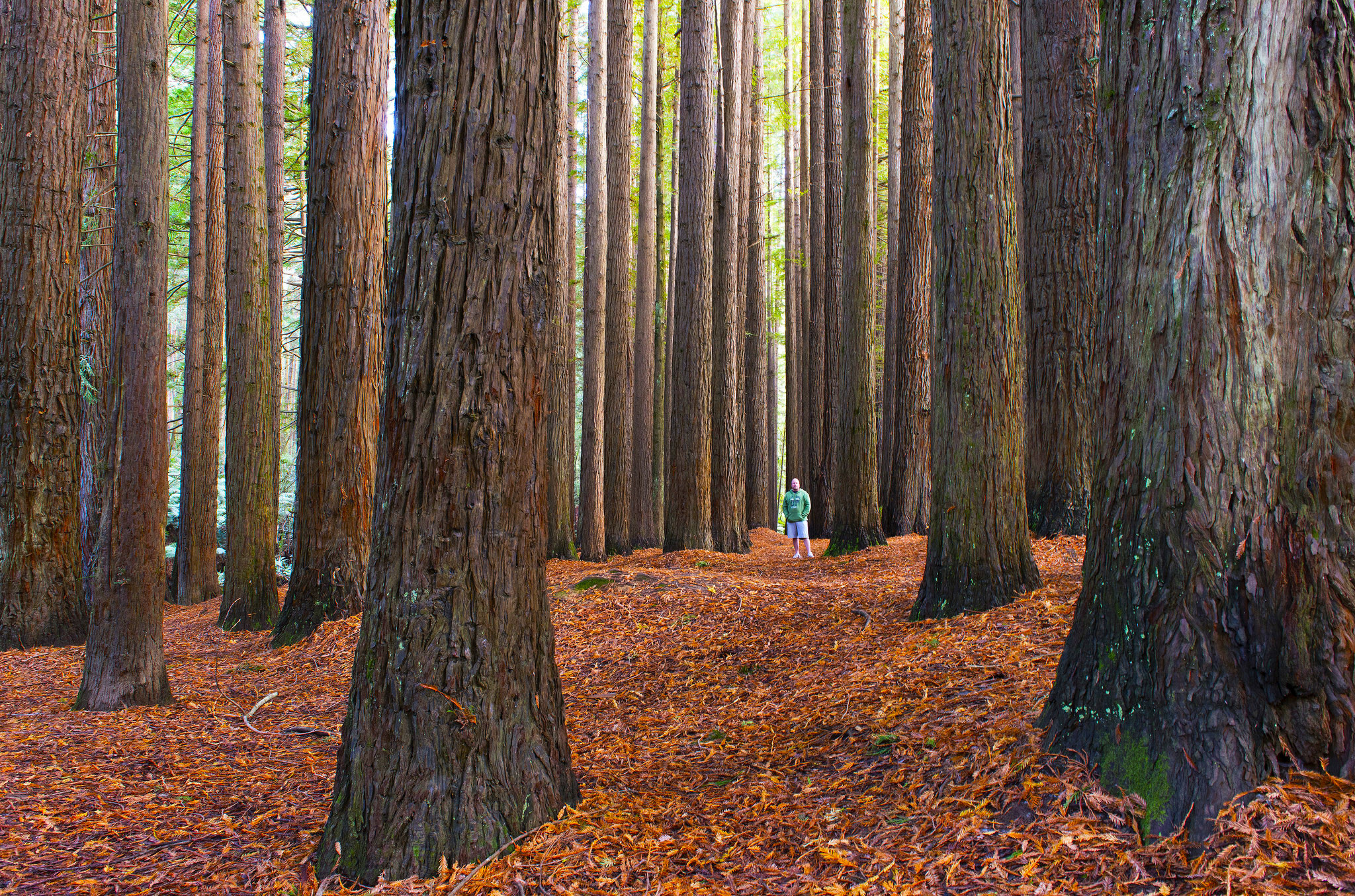 Where to find Californian redwood forests in Victoria