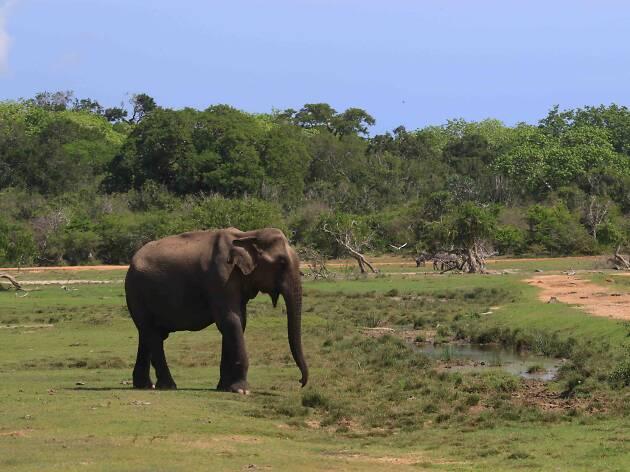 Elephants at Kumana