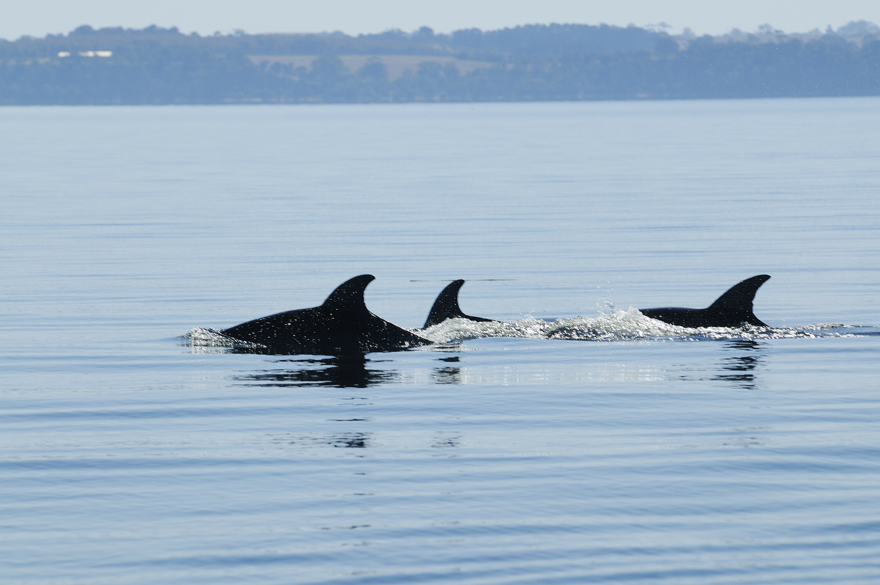 Dolphins at Metung, Gippsland