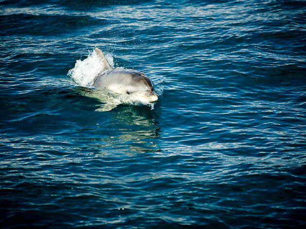 Dolphins on the Mornington Peninsula