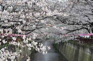 Cherry blossoms Nakameguro
