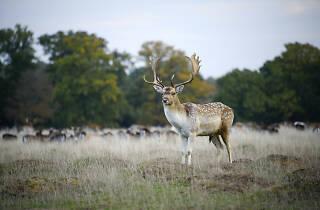 A deer in Petworth Park