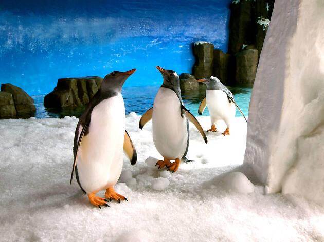 Gentoo penguins at Sea Life Melbourne