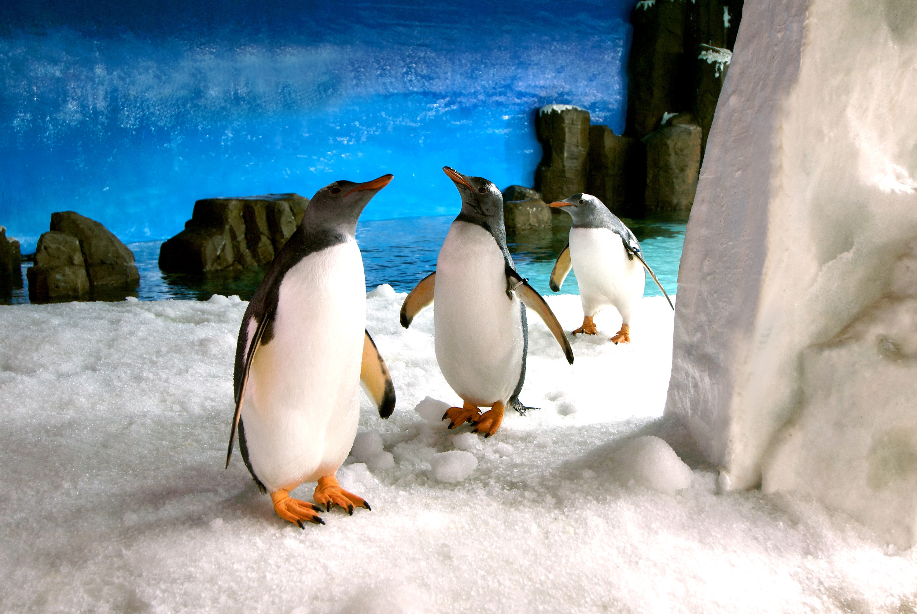 Gentoo penguins at Sea Life Melbourne