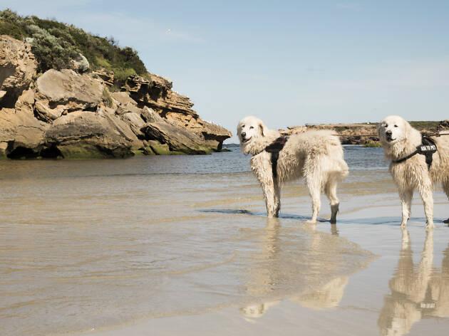 Middle Island Maremma dogs