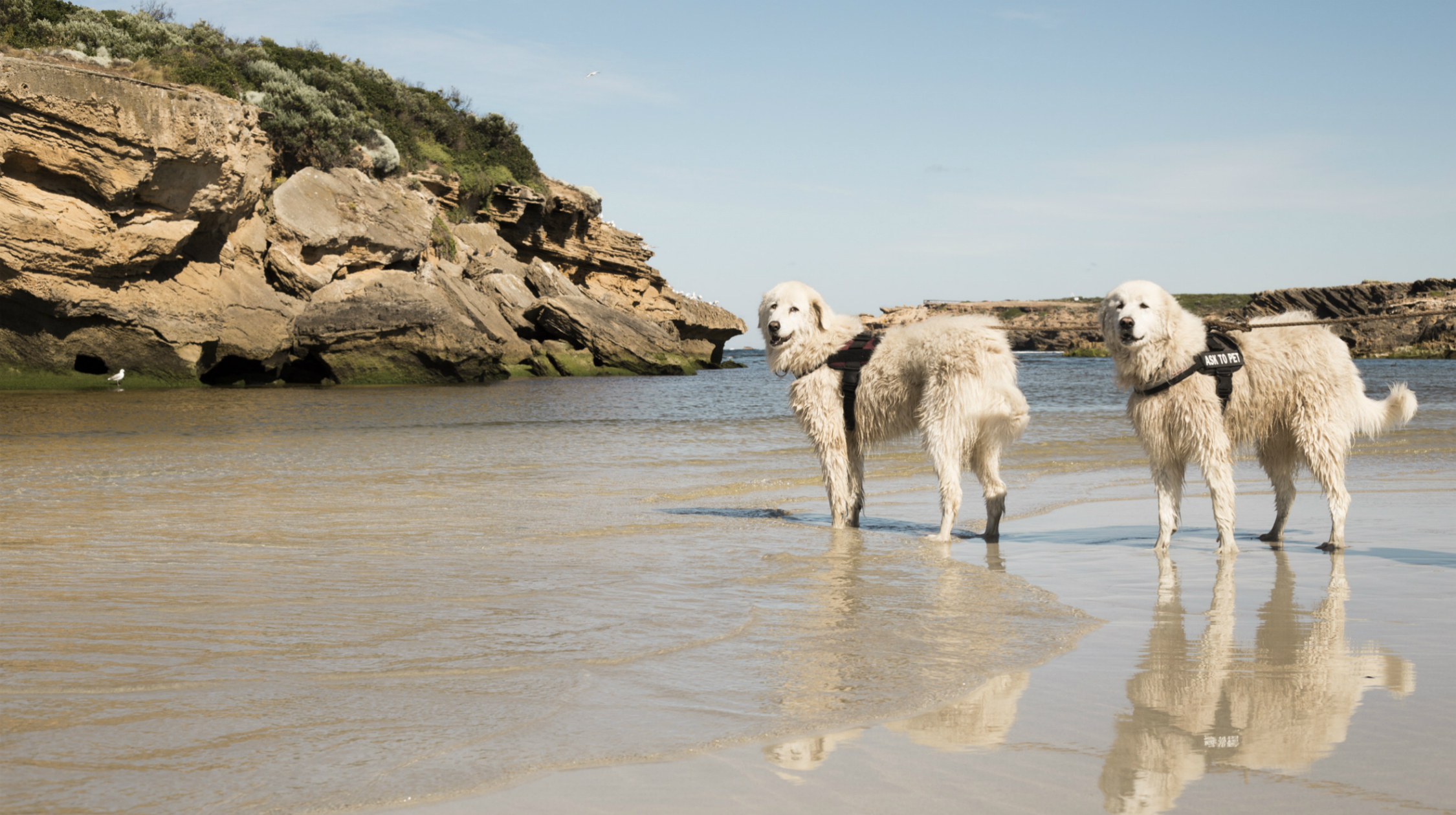 Middle Island Maremma dogs