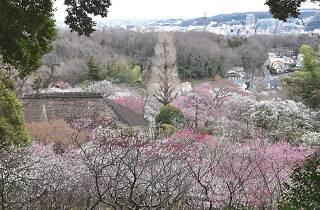 京王百花園 梅まつり