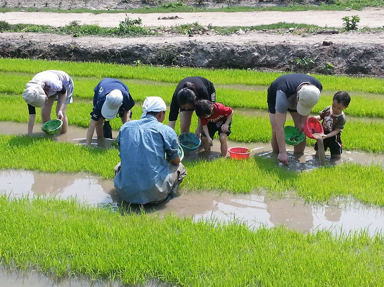 二澳農作社:有心人種本土米