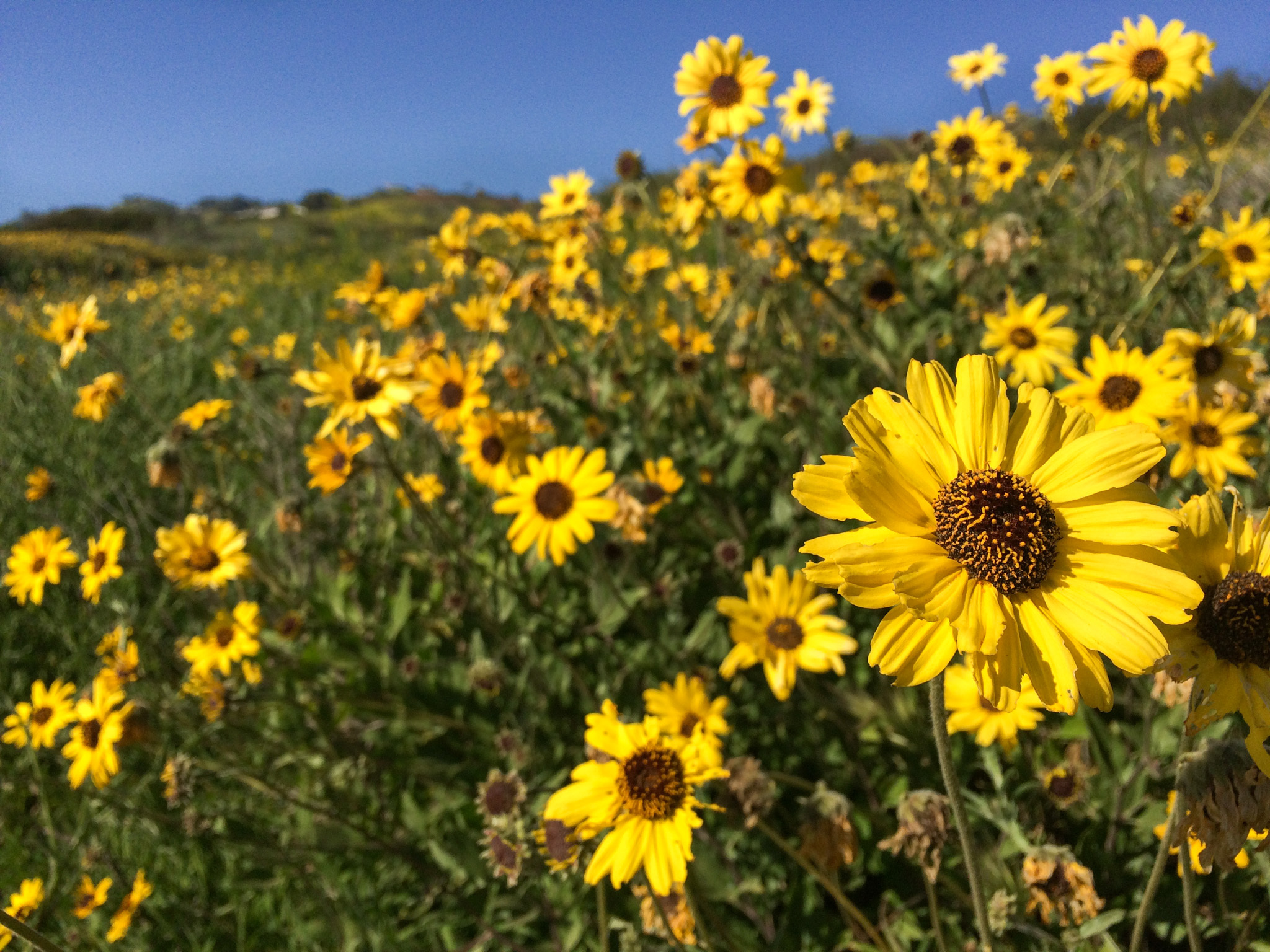 Palos Verdes wildflowers