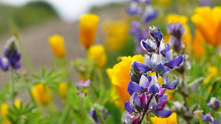 Point Mugu State Park wildflowers