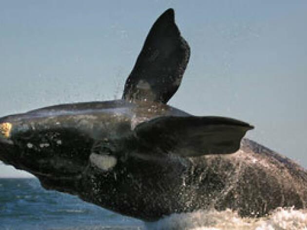 La ballena franca
