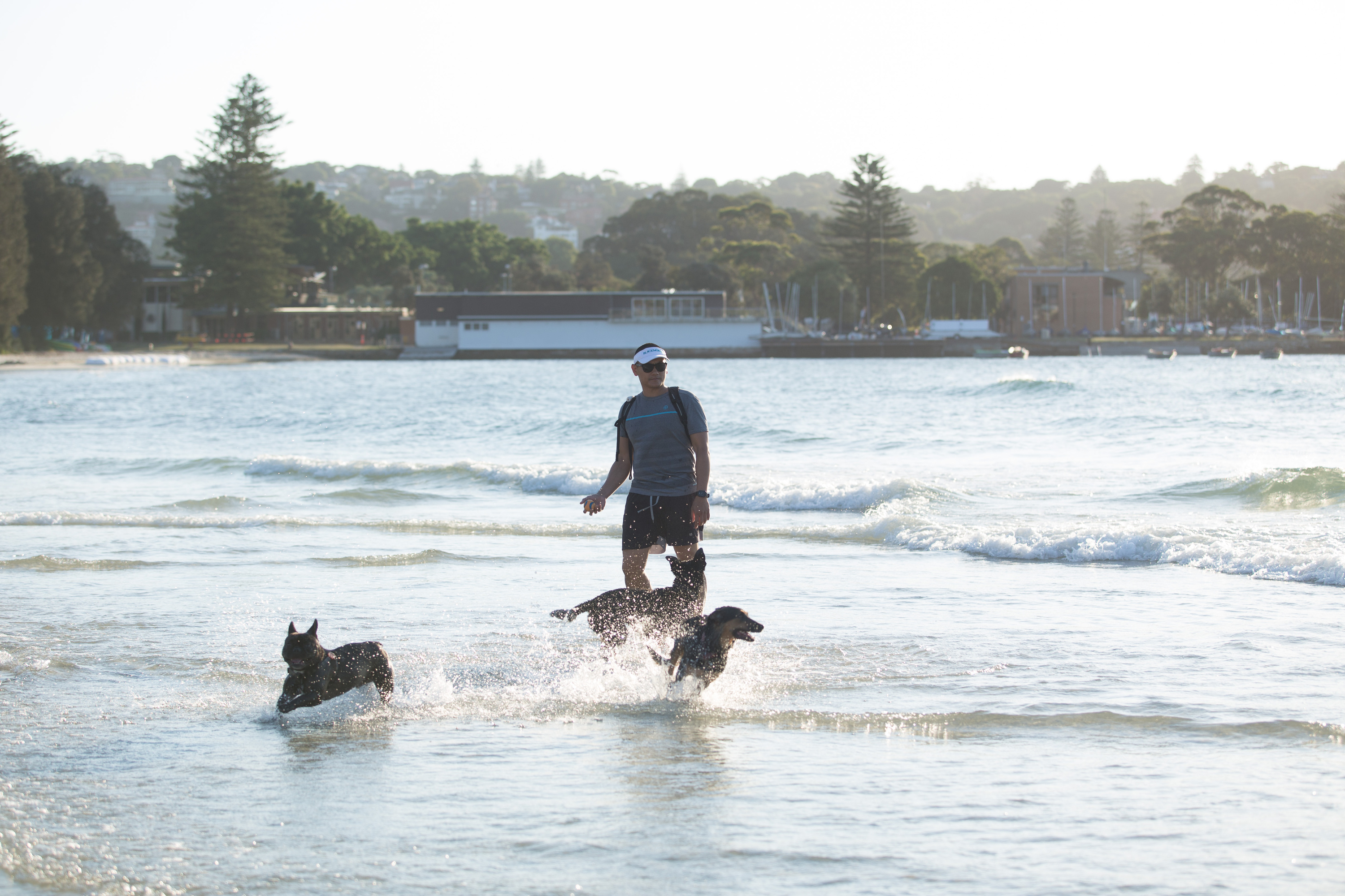 Man walking his dogs in the water at Rose Bay.