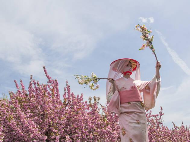 The Sakura Matsuri Cherry Blossom Festival in NYC guide