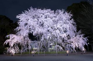 Rikugien Cherry Blossom Light-up