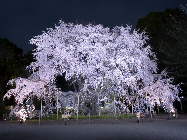 Rikugien Cherry Blossom Light-up