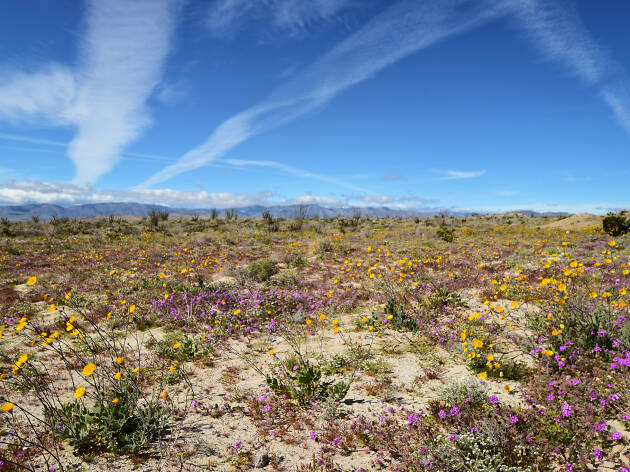Anza-Borrego Desert State Park wildflowers