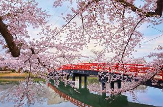 Cherry Blossom at Hirosaki park