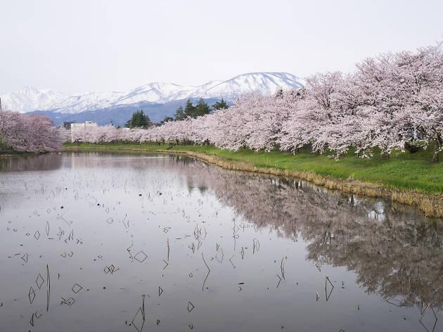 Cherry Blosom in Takada Castle Park