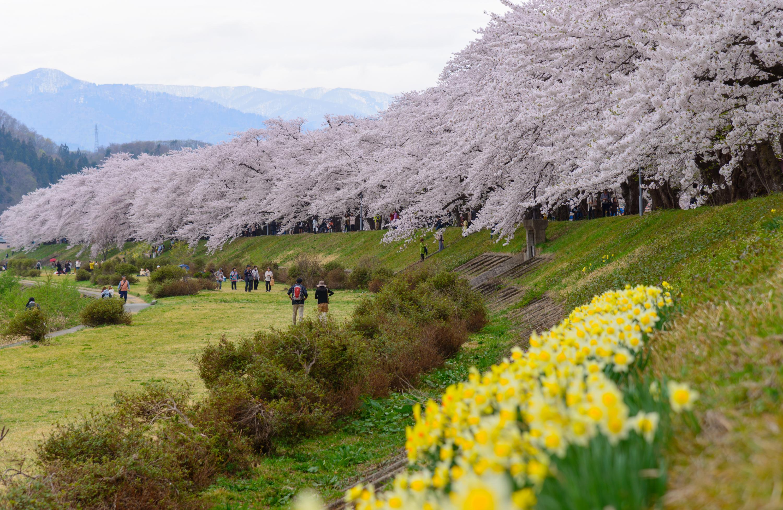 Cherry trees along Hinokinai river Akita