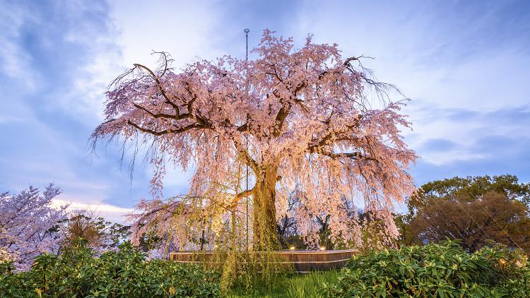 Maruyama Park Sapporo cherry blossoms