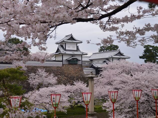 Kanazawa Castle Cherry Blossoms