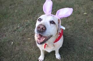 Labrador wearing Easter bunny ears.
