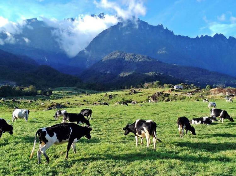 Visit a tropical dairy farm