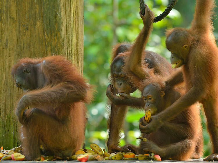 Drop by the Sepilok Orangutan Rehabilitation Centre
