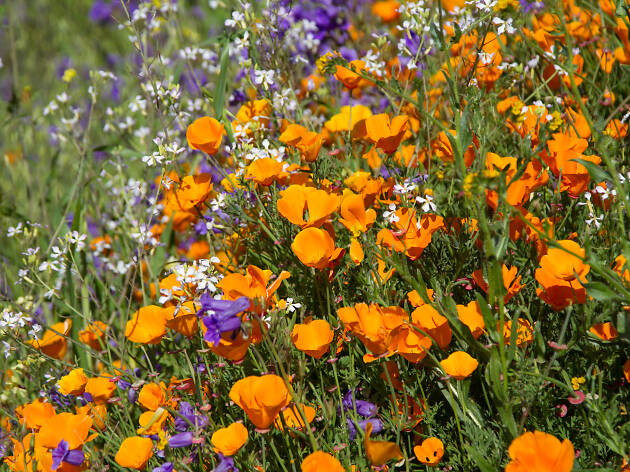 Where to see wildflowers near L.A.