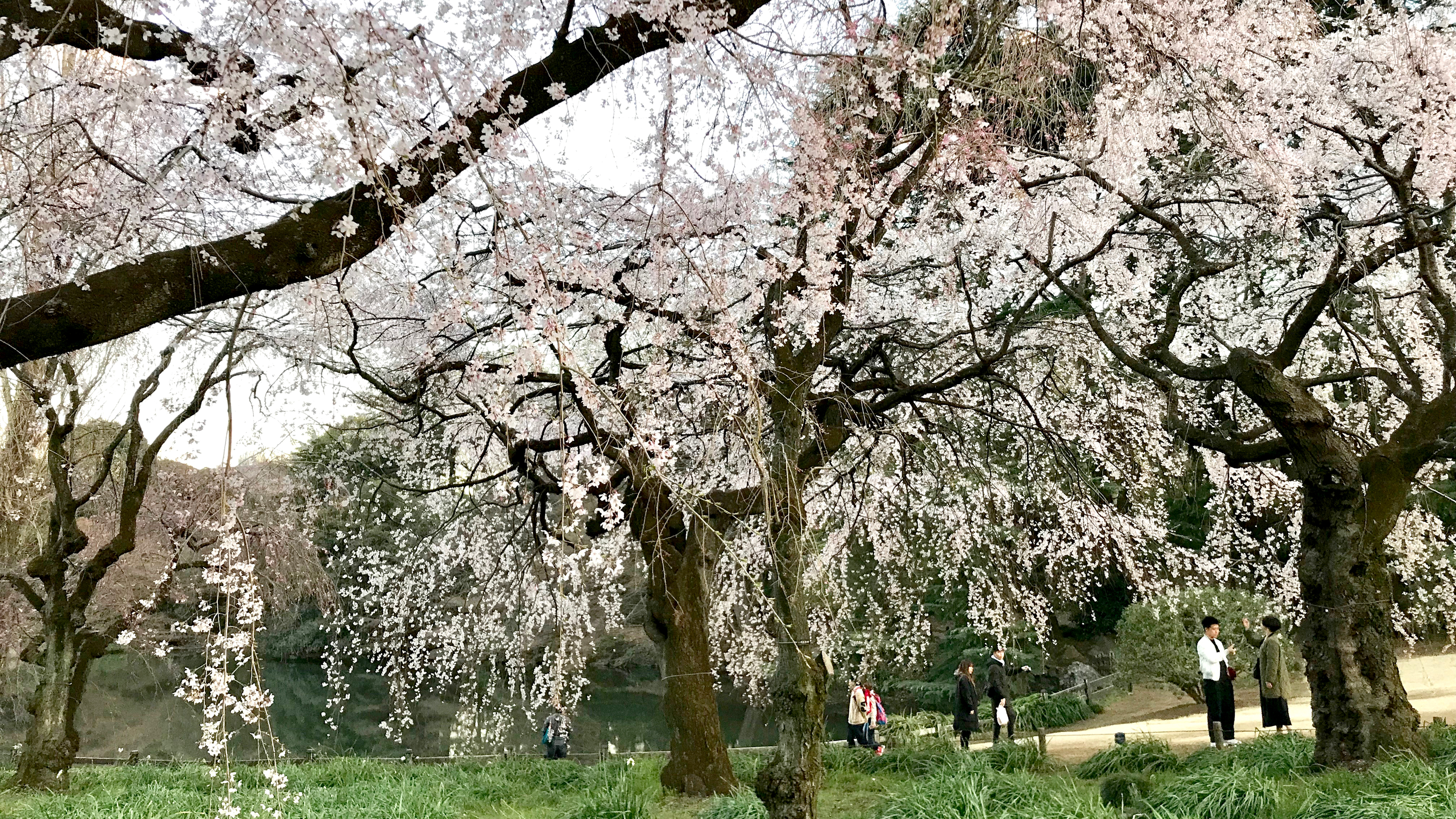 Shinjuku Gyoen National Garden - cherry blossoms