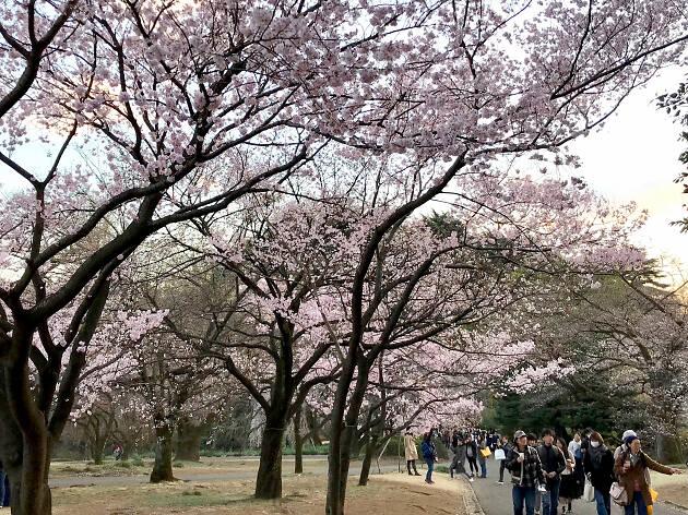 Shinjuku Gyoen National Garden - cherry blossoms