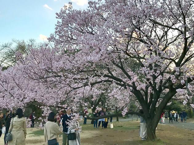 Cherry blossoms at Shinjuku Gyoen