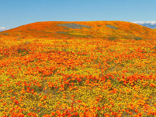 southern california wildflowers 2020