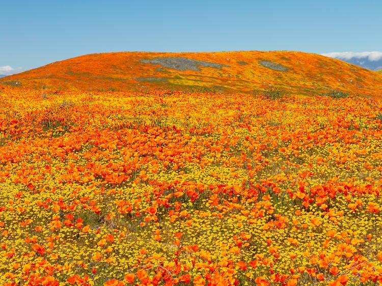 Antelope Valley California Poppy Reserve, CA
