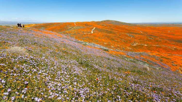 The 2019 bloom at the Antelope Valley Poppy Reserve